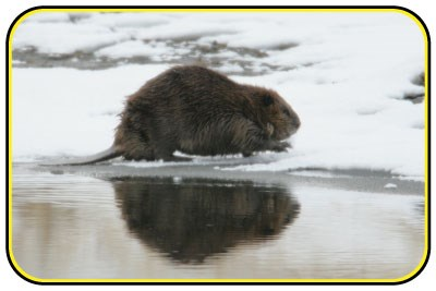 A beaver stands on an icy shoreline.