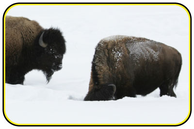 Bison looking for food by pushing snow out of their way.