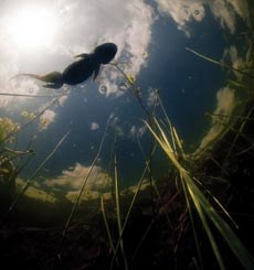 A submerged view of a salamander looking up towards the sky