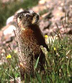 The Yellow-Bellied Marmot stands up to have a look around the side of the hill.