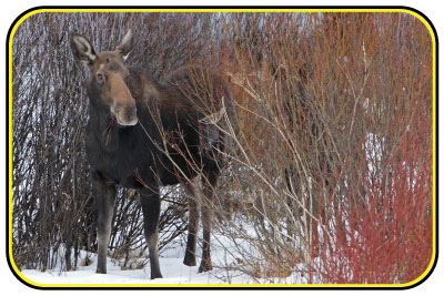 Moose standing in snow in a patch of willow.