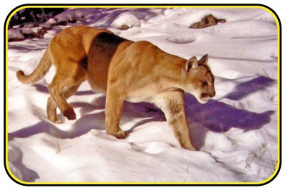 A mountain lion prowls across a snowy field.