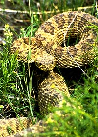 A rattlesnake perks up as if it were to strike.