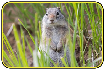 A Uinta ground squirrel sits amongst grass.