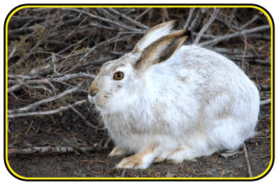 A white-tailed jackrabbit with mottled gray and white fur.