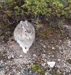 A light hare sits among juniper and bare ground.