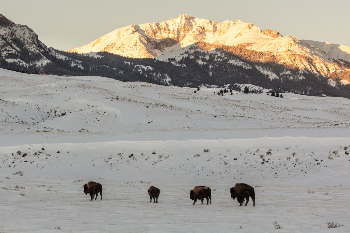 Bison standing in a snowy, mountainous landscape at sunset