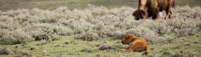 A red bison calf rests near its mother