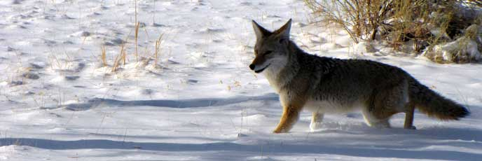 A coyote walks in the snow.