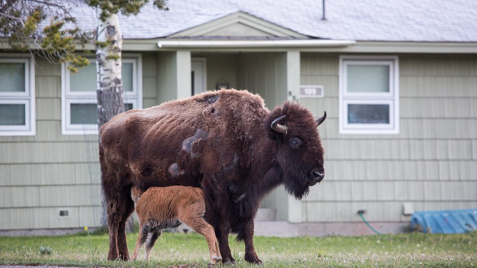 A bison nurses a calf in front of a house.