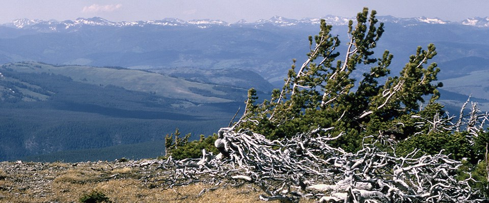 Whitebark pine cluster perched on the wind-swept summit of Mount Washburn