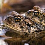 Two toads nestled in water