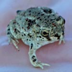A small toad sits on a gloved human hand