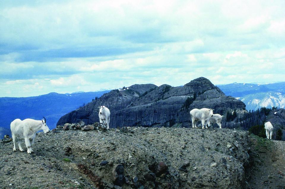Mountain Goat - Yellowstone National