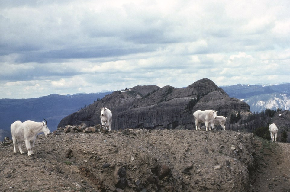 Five adult mountain goats overlooking vast sky and mountains