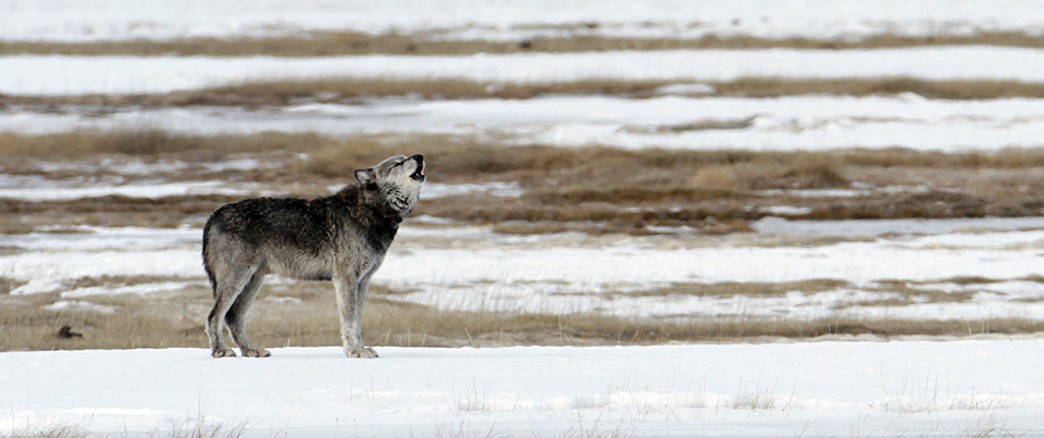 The alpha male of the Canyon pack howling in the Lower Geyser Basin