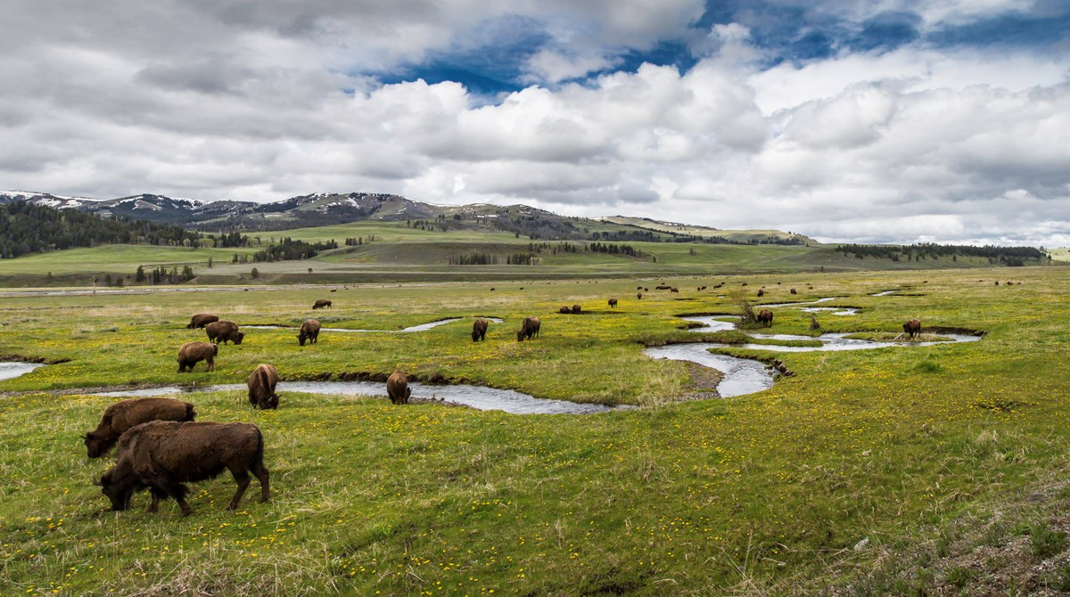 Bison grazing along Rose Creek