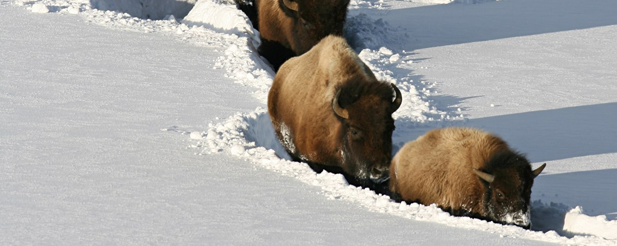 A line of bison walking through deep snow.