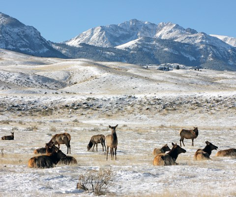 Cow elk lay down on snow-covered grass beneath a mountain
