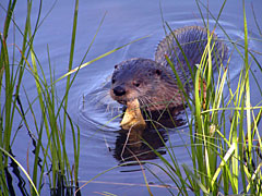 An otter swimming with a fish in its mouth.