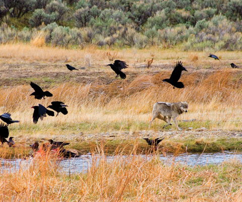 A wolf near a carcass at the edge of water surrounded by flying ravens