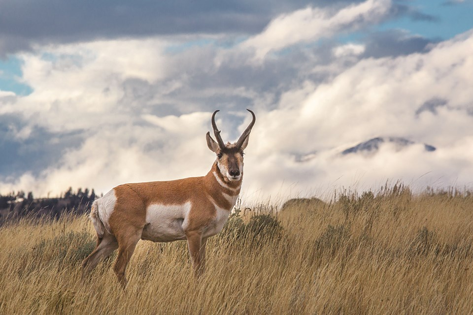 A pronghorn buck stands in a grassy field with white clouds and mountains in the background.