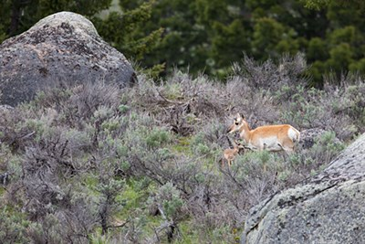 A female pronghorn and her fawn stand in the sage grass between large boulders.