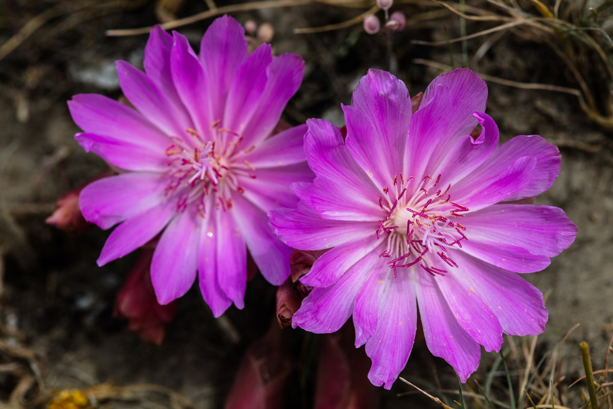 Two pink wildflowers blooming