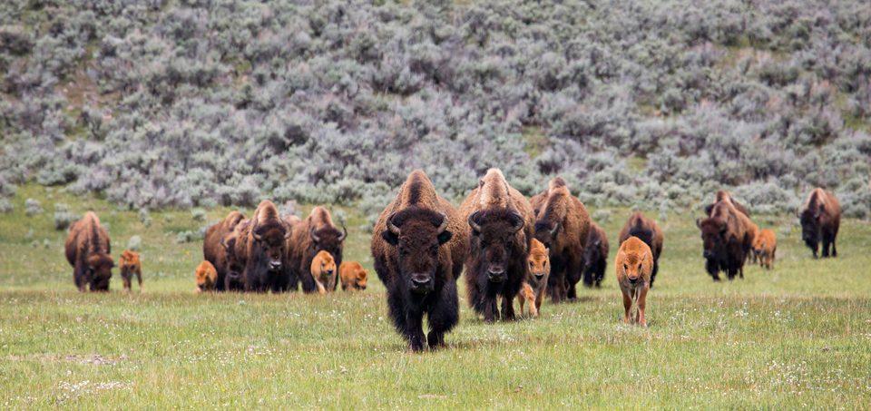 A nursery group of bison cows and calves makes its way through Lamar Valley. Due to high rates of survival and reproduction, the bison population increases by 10 to 17% every year: ten times faster than the human population grows worldwide.