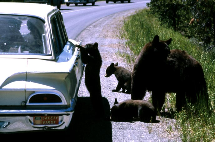 A few young black bears and an adult approach the passenger window of an old vehicle