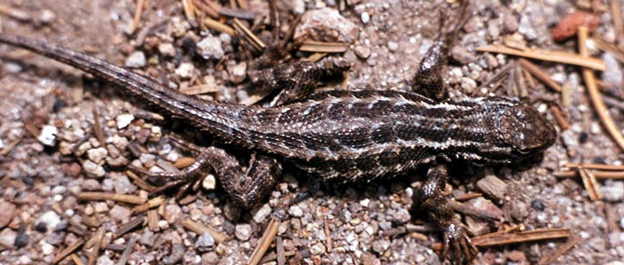 A spiny lizard nearly blends in with gravel and pine needles on ground
