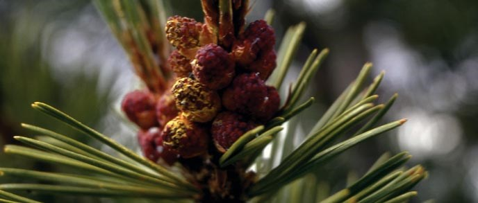 Whitebark pine needles and cones