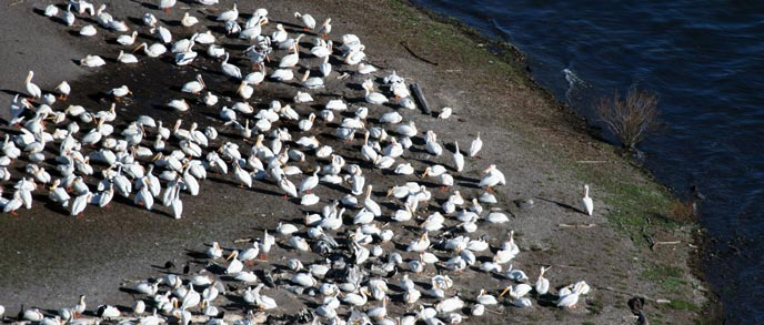 A large group of white pelicans sit on land next to water