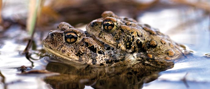 Two toads nestled together in water