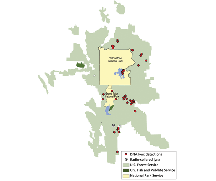 A map of national forest, national park, and Fish and Wildlife Services land in the Greater Yellowstone Ecosystem with lynx locations and detections