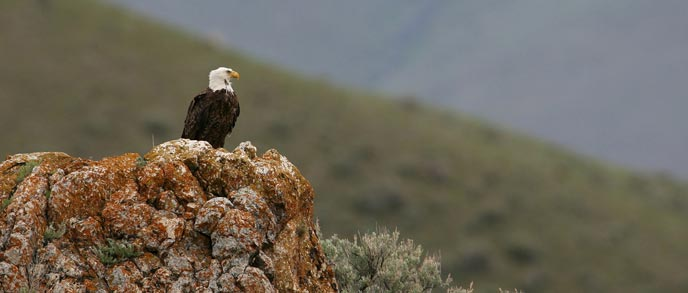 An adult bald eagle sits on a rock outcropping next to sage brush