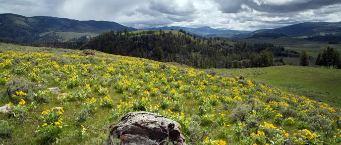 Yellow flowers and sage brush cover a hill with mountains in the background