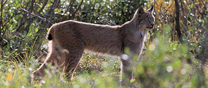 A lynx stands profile among vegetation.
