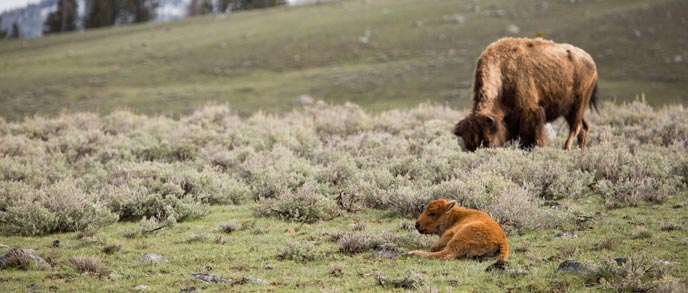 A bison calf rests near sagebrush and its mother