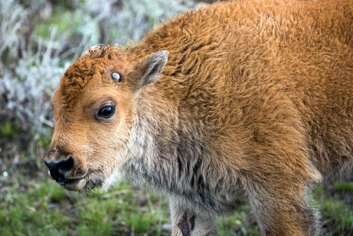 The head and shoulders of a bison calf