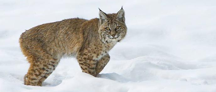Image result for pics of bobcats