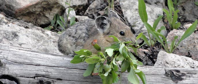 A pika with vegetation in its mouth