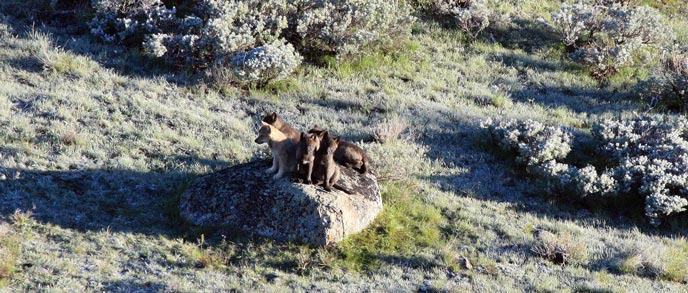 An aerial view of wolf pups sitting on a boulder