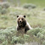 A grizzly bear sits among sage brush.
