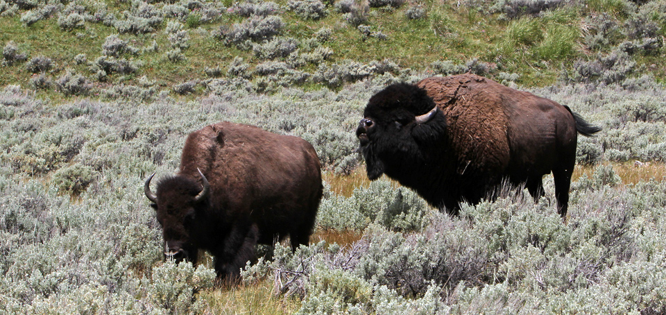 A bull bison follows a cow bison.