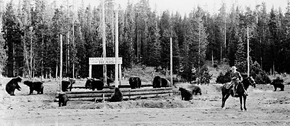 A large number of bears milling around eating and a ranger on horseback close by.