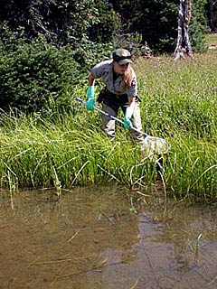 A biologist with a net searches the lake edge for amphibians.