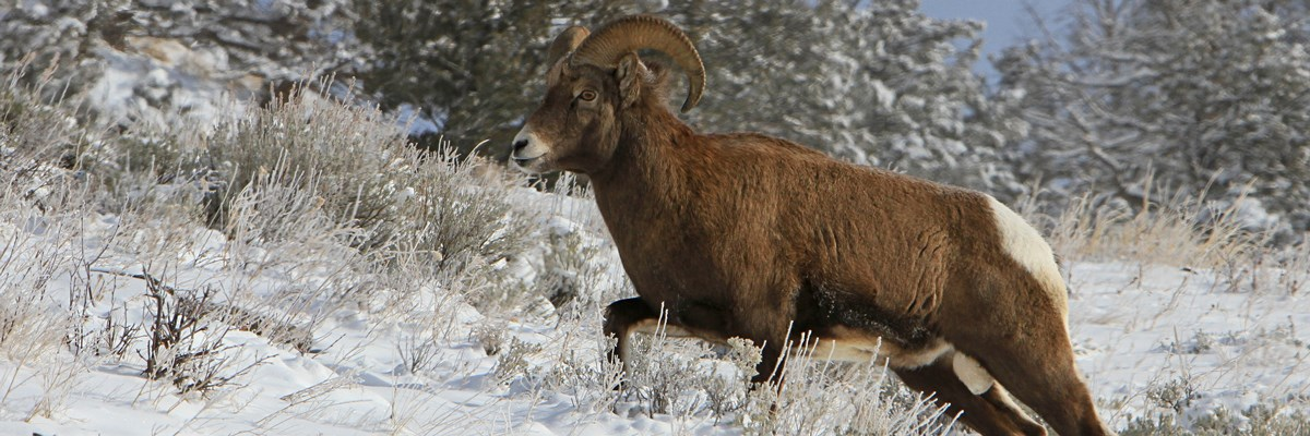 Bighorn Sheep climbs a snowy hillside