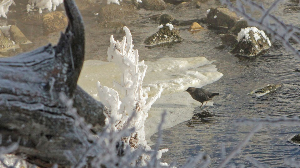 A small bird searching for insects along a snowy stream.