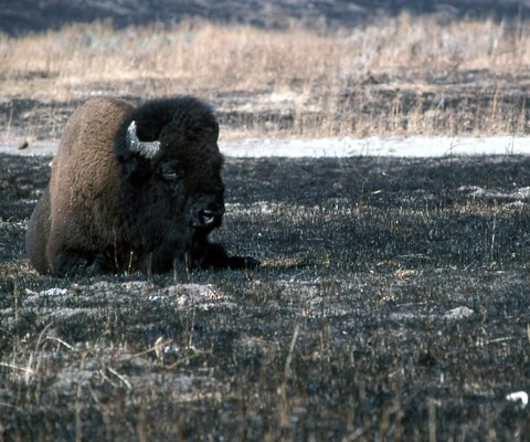 A bison rests on a charred flat area